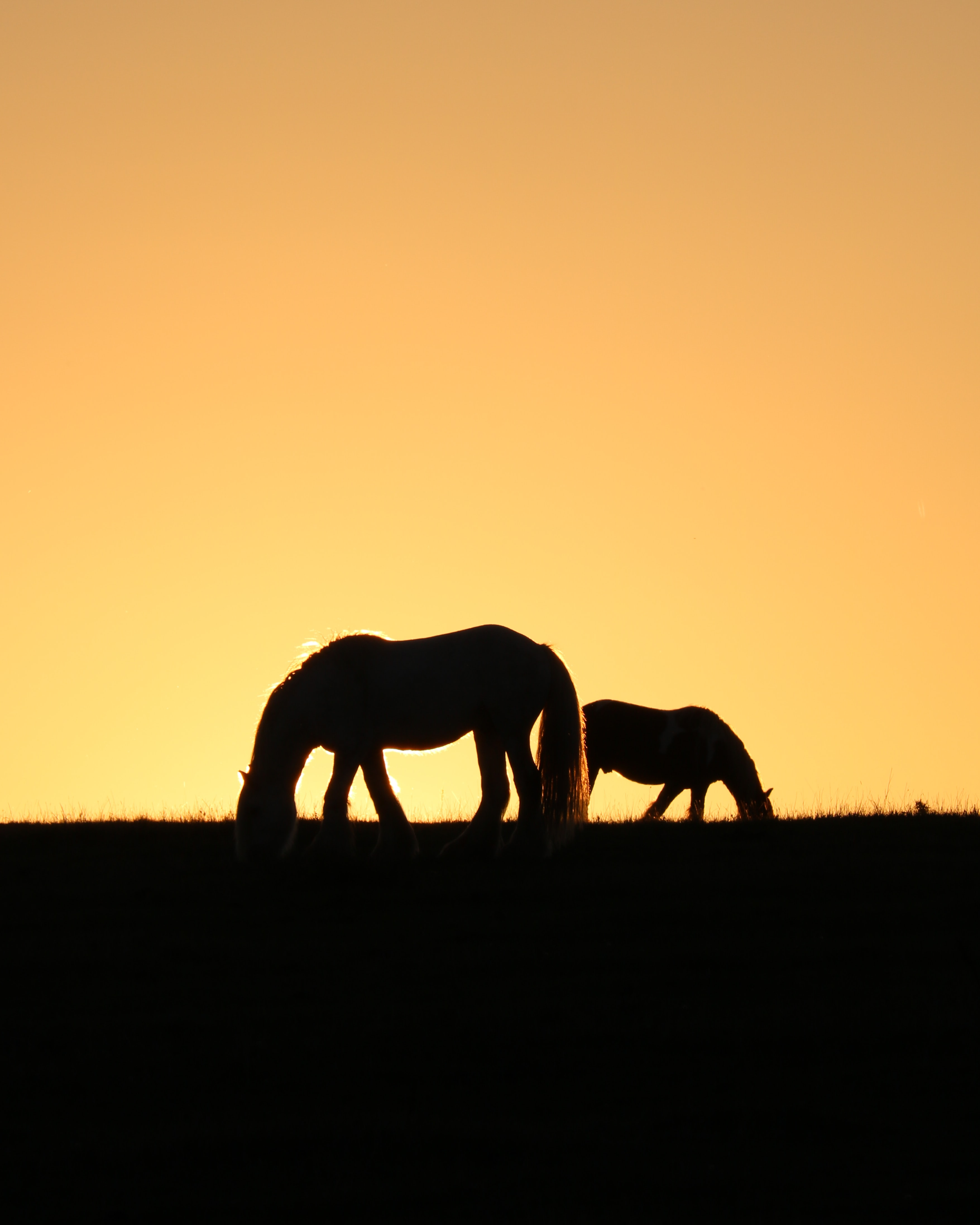 silhouette of two horses grazing on pasture