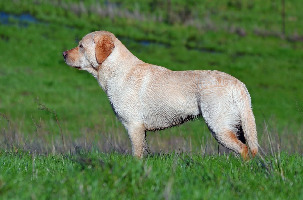 short-haired tan dog on grassy field