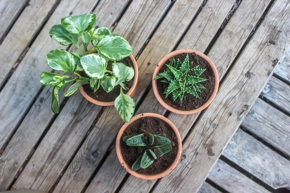 three green plants in pot