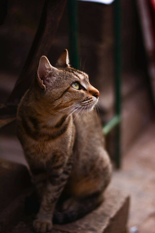 standing brown tabby cat