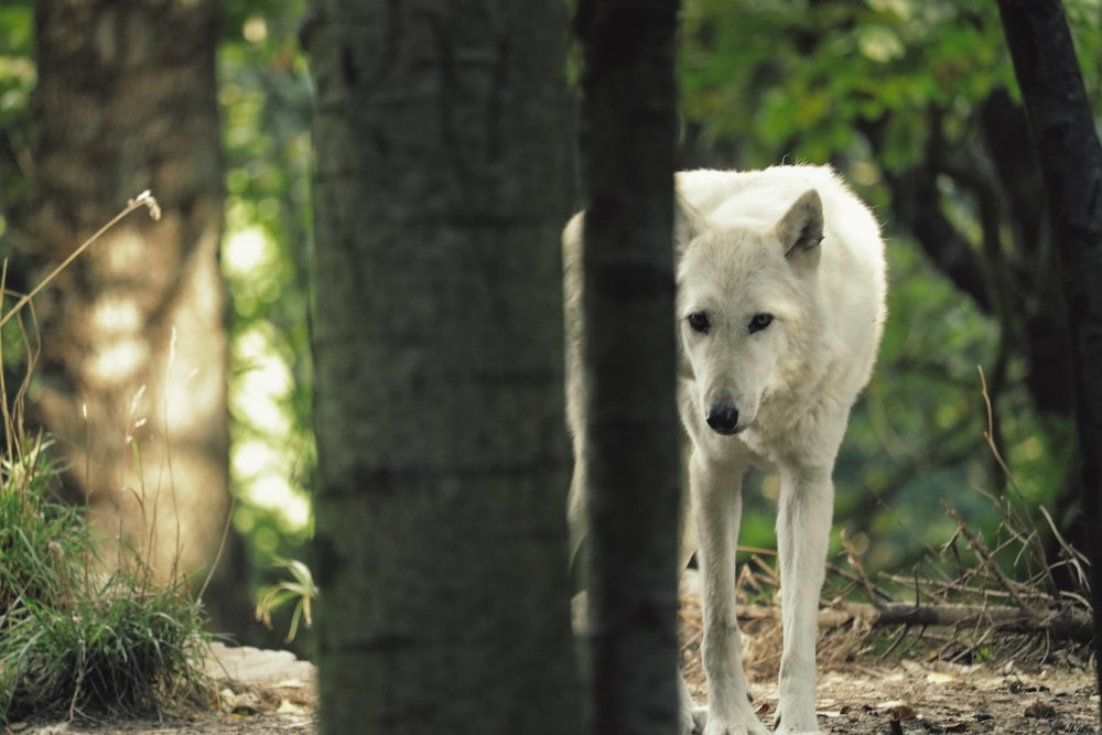 short-coated white wolf on forest during day time
