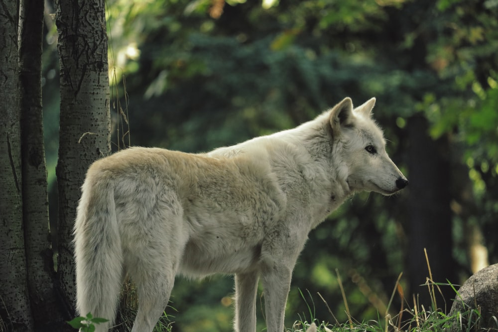 white wolf standing beside tree