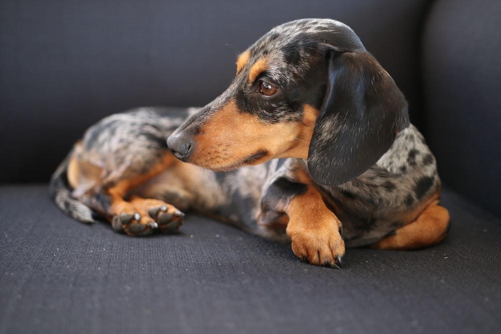 short-coated gray and black dog on gray sofa