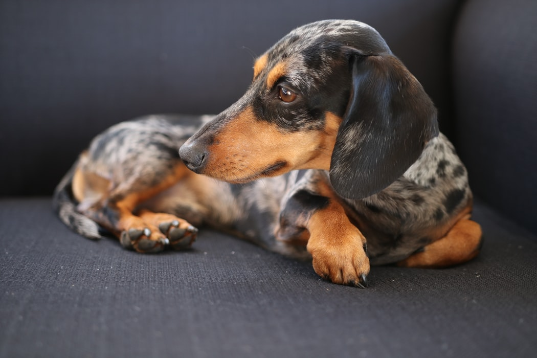 a photo of the Bluetick Hound