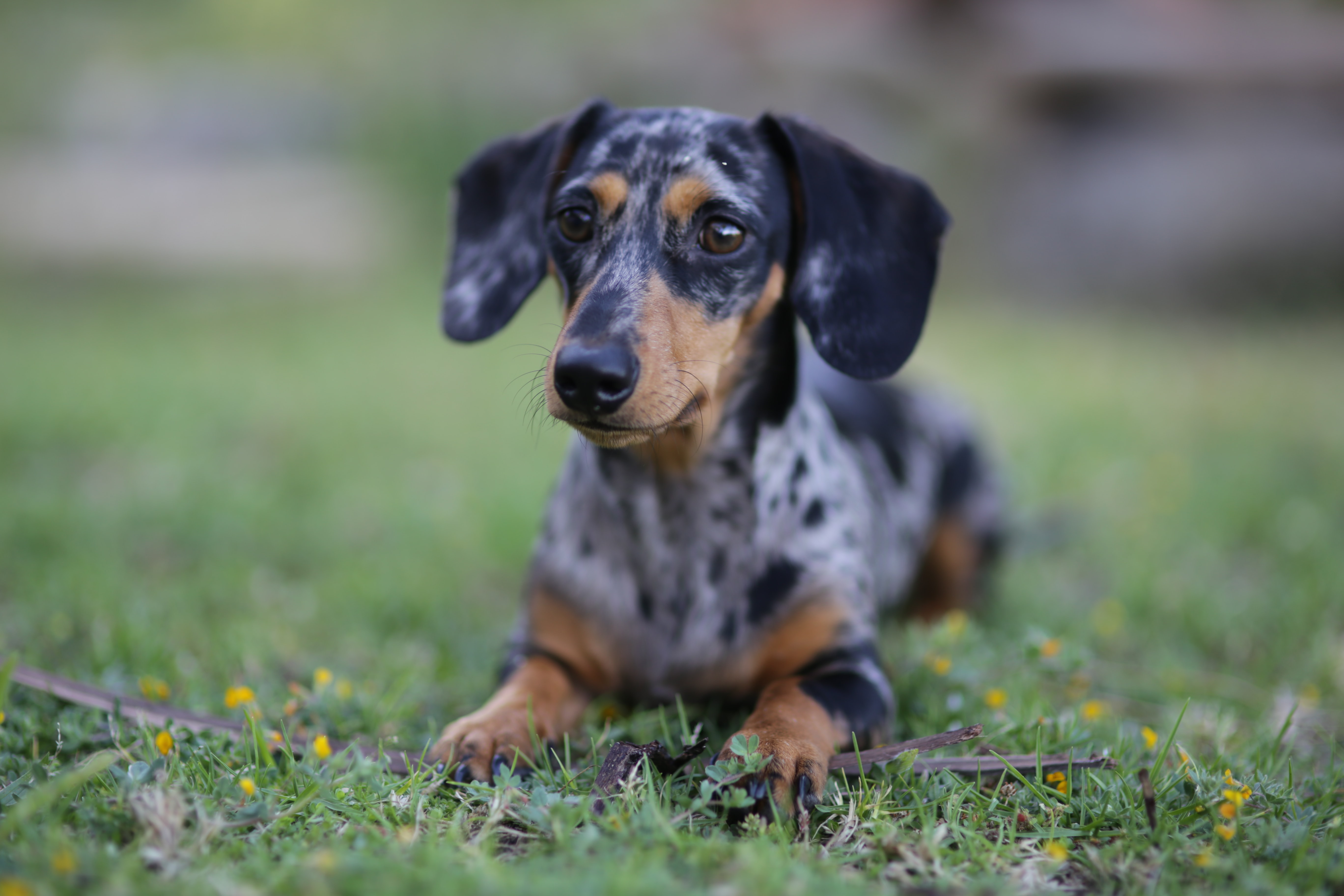 selective focus photography of adult smooth dapple dachshund prone lying on green grass