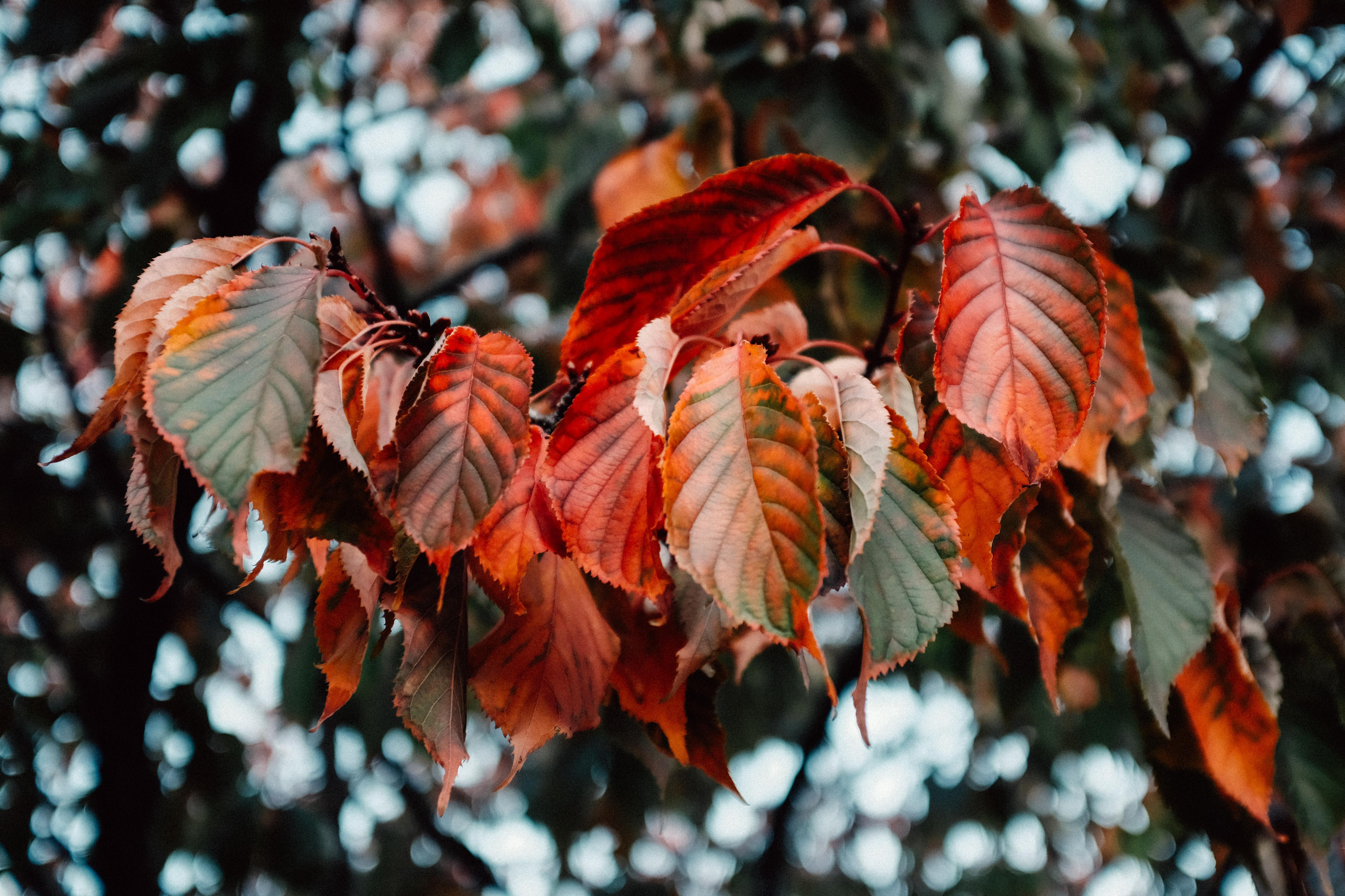 red leaf during daytime