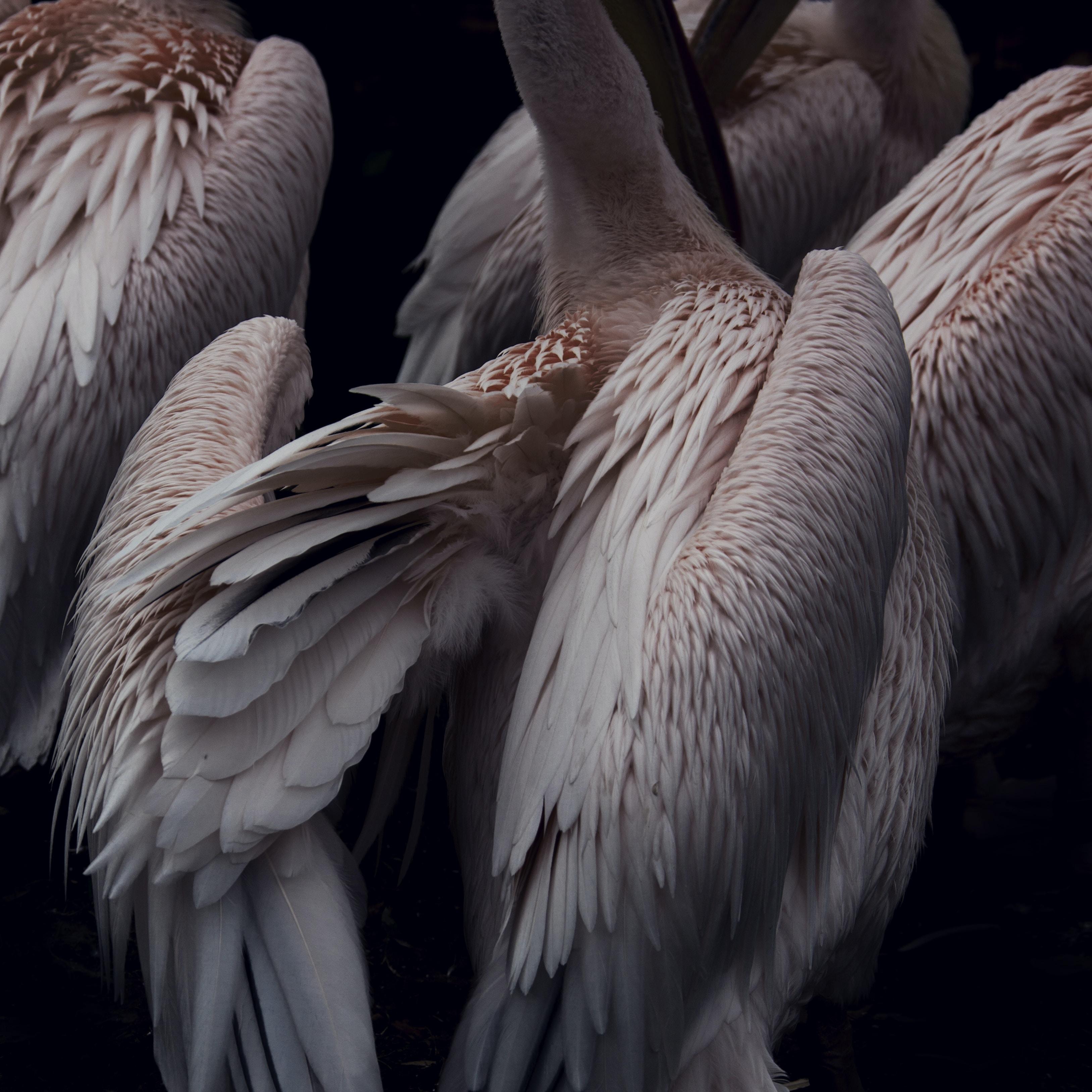 flock of white pelicans