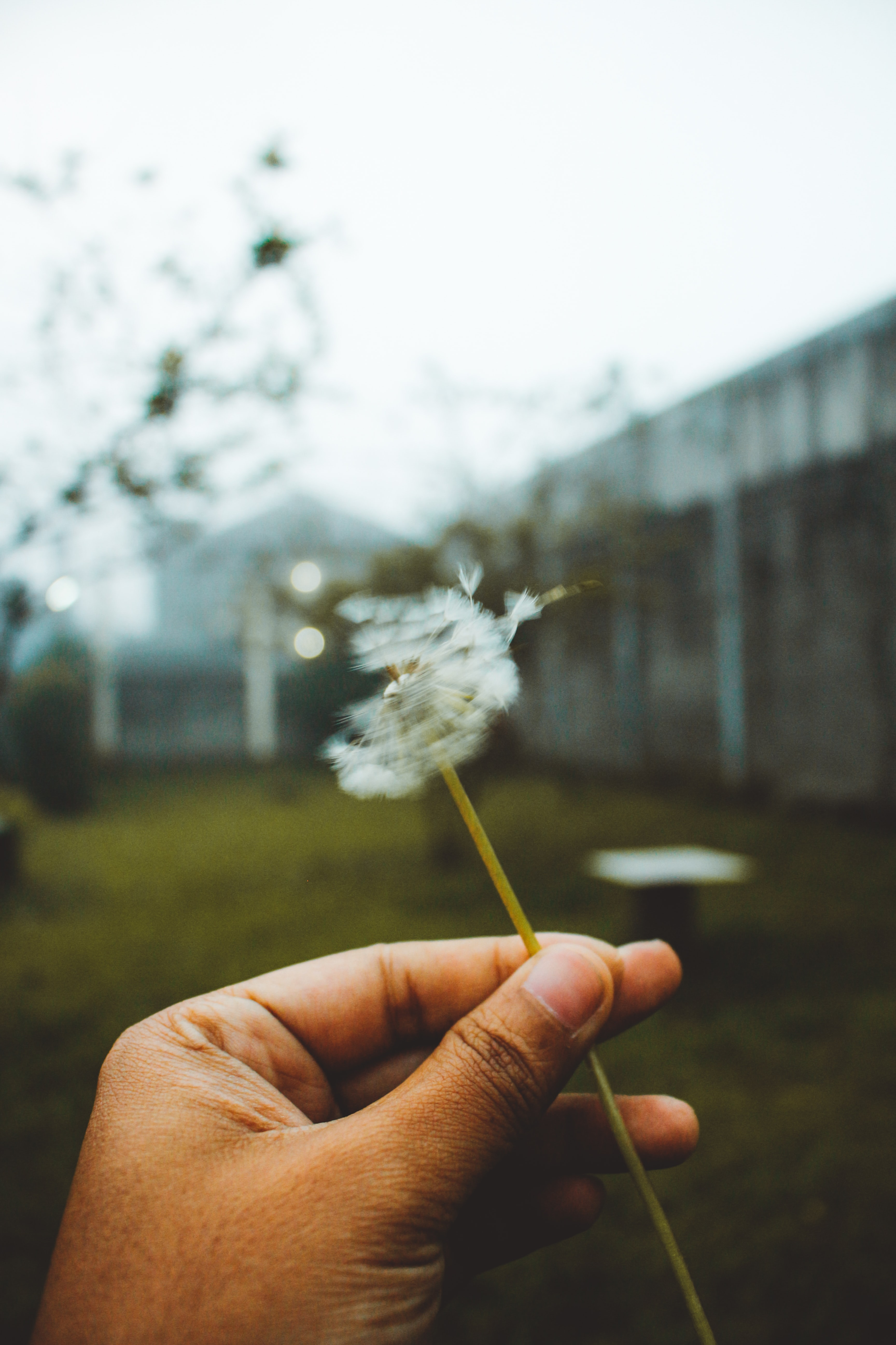 person holding white dandelion flower during daytime