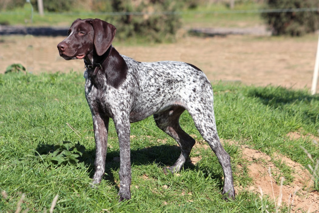 The German Shorthaired Pointer jumping towards his owner