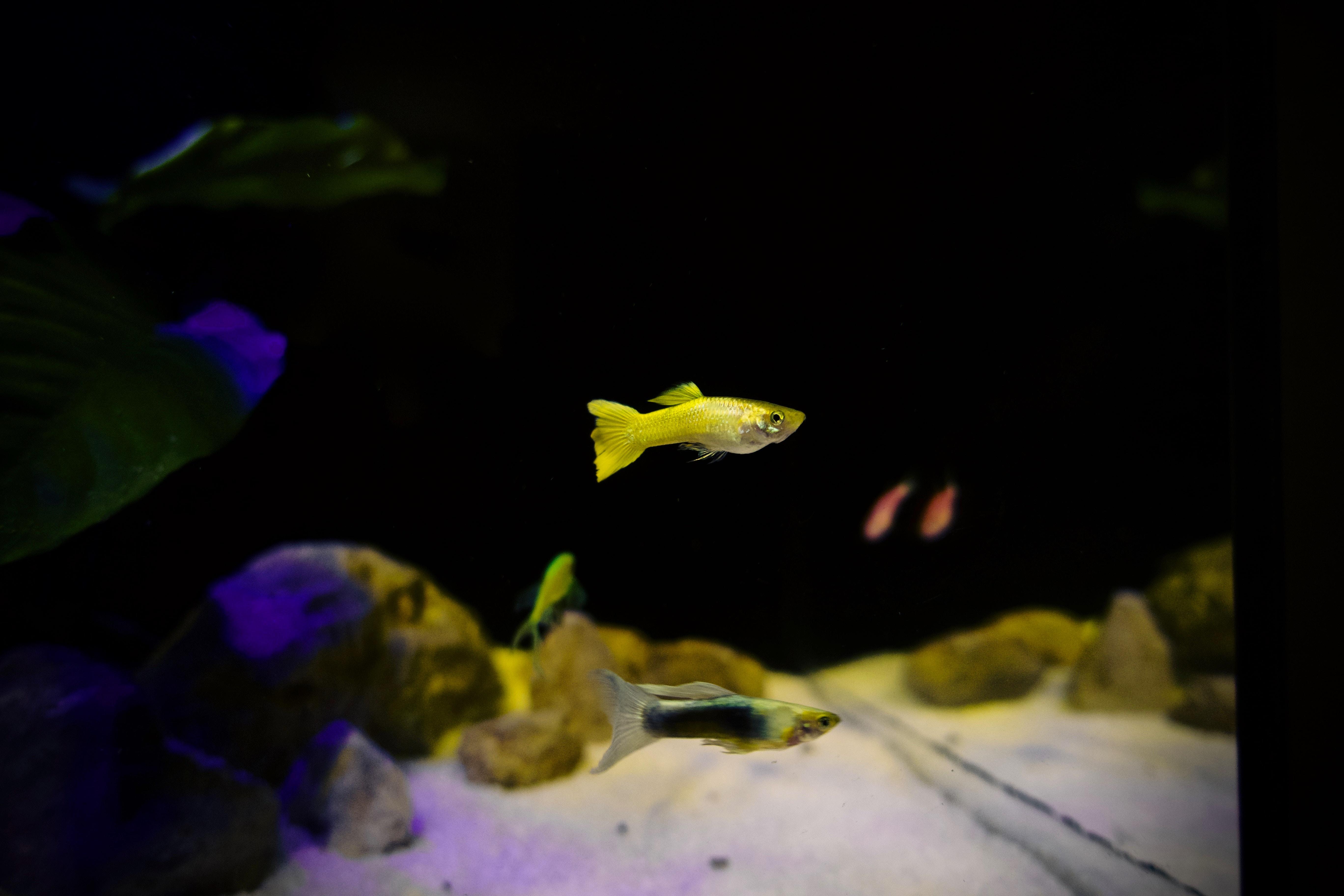 yellow guppy fish close-up photography