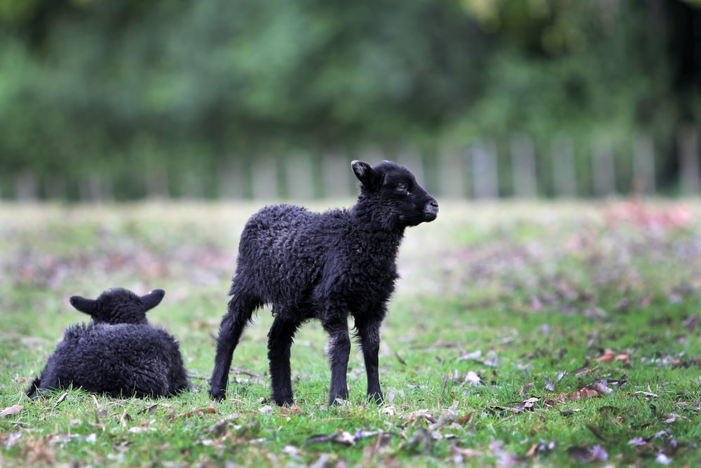 two black sheep