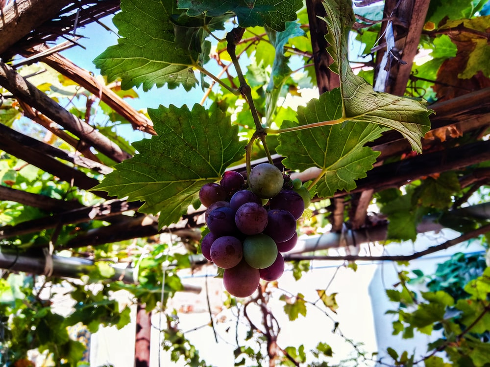 closeup photography of grapes