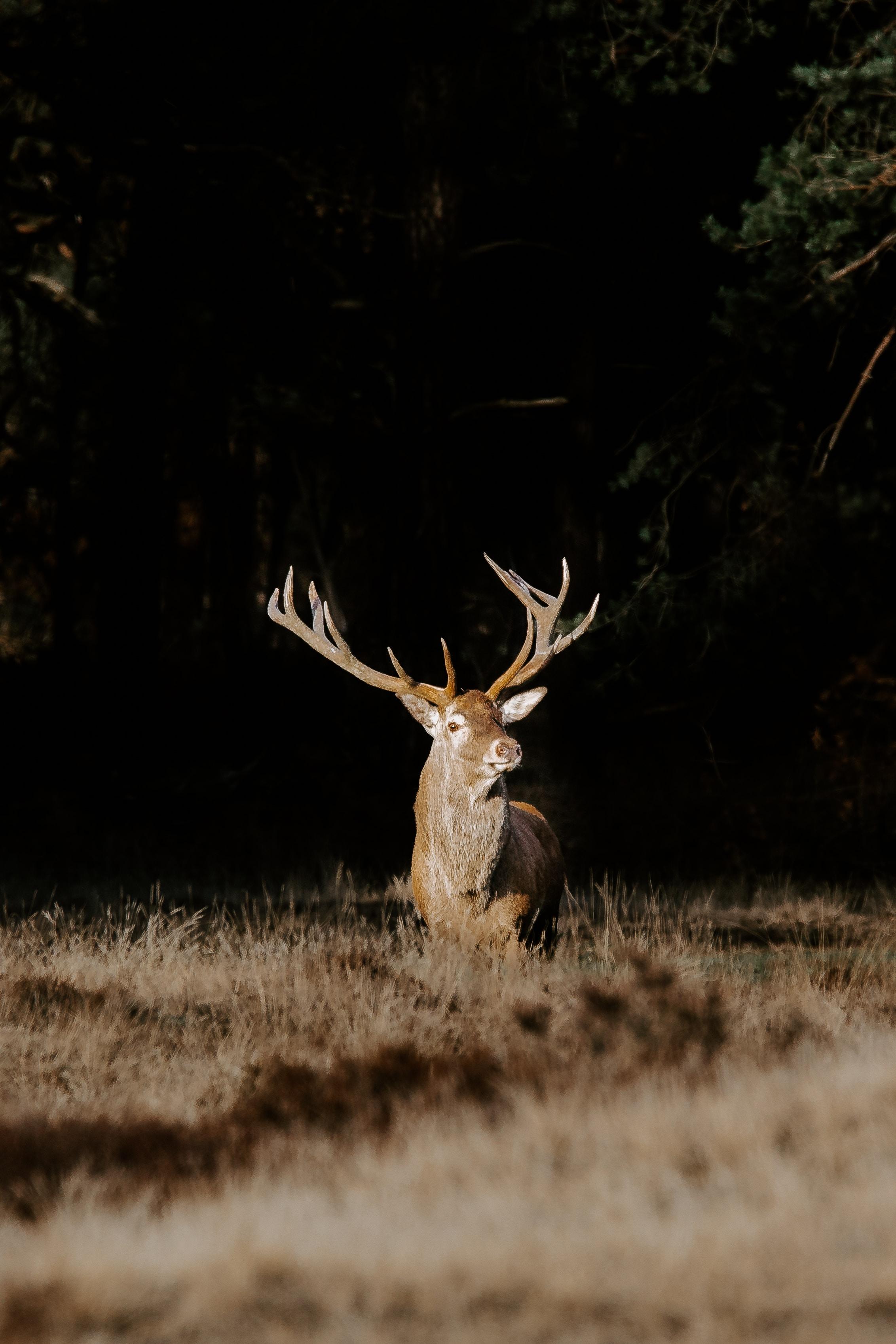 brown buck on grass field