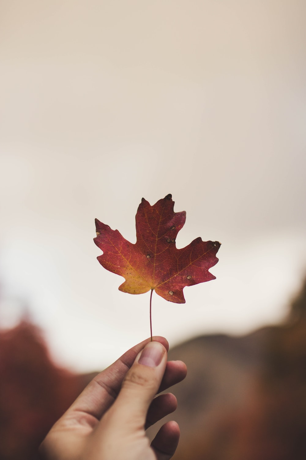 selective focus photography of person holding maple leaf