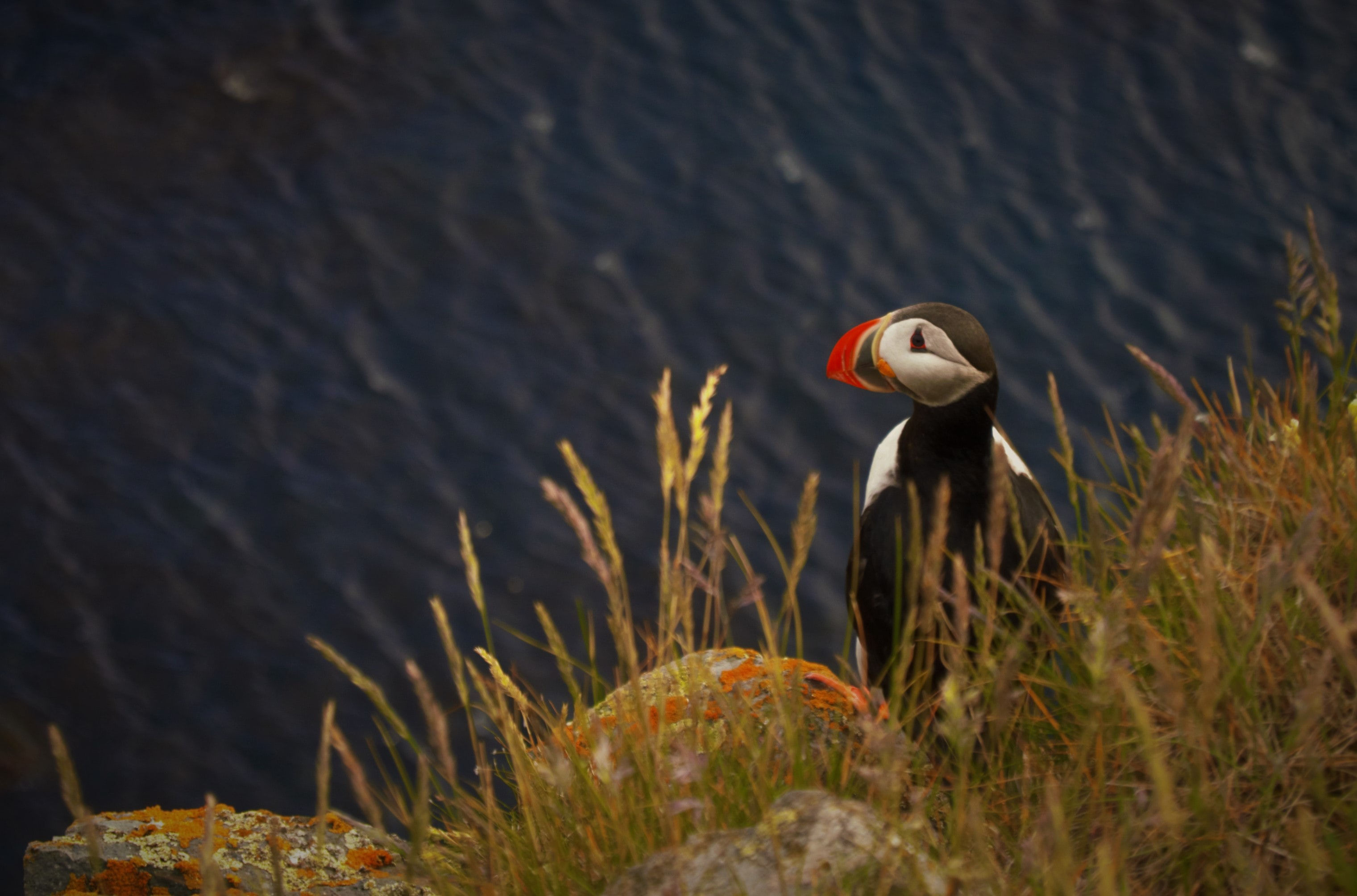Puffin in Ltrabjarg in the Westfjords of Iceland photo by Gissur Steinarsson