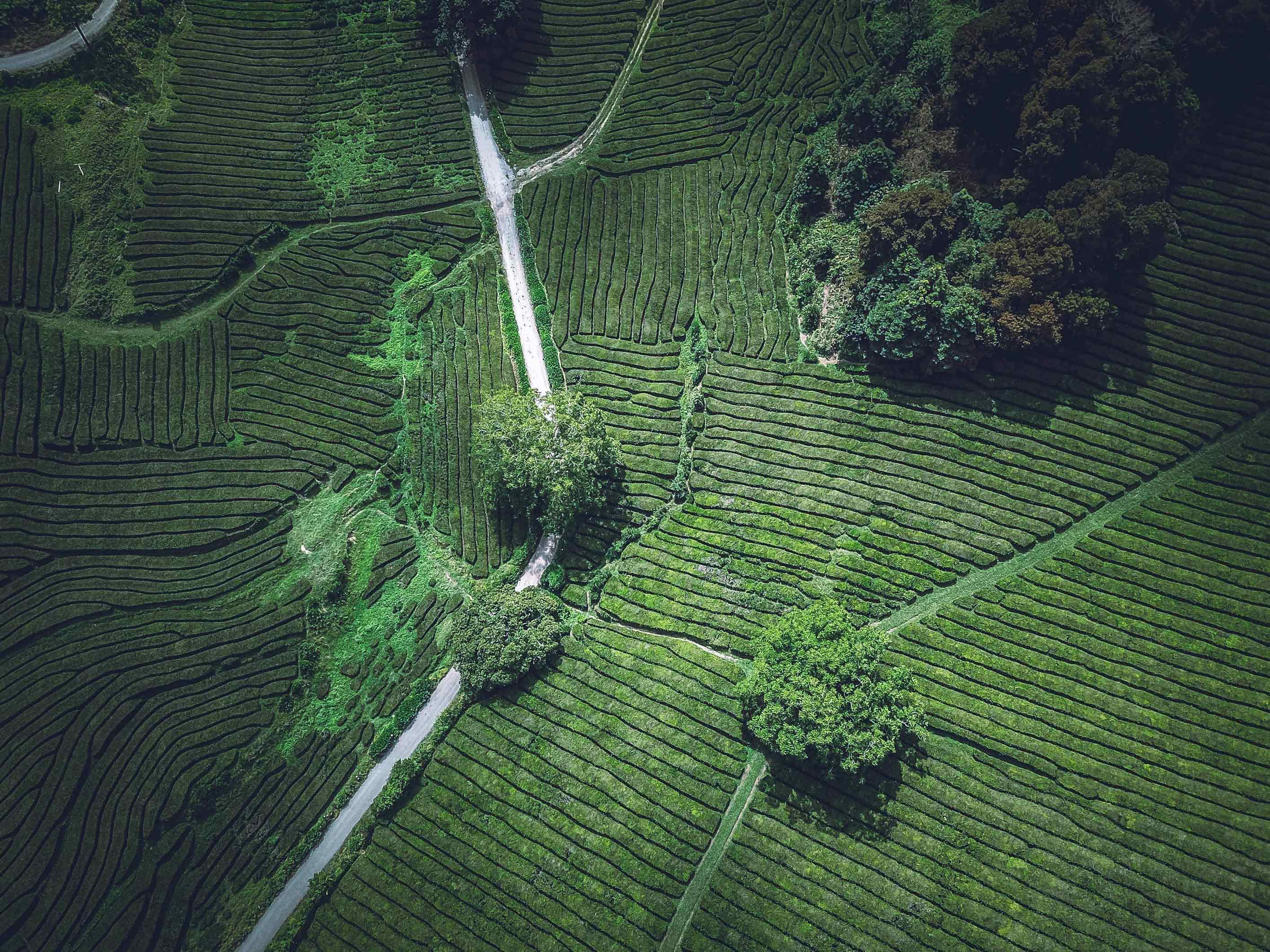 European Tea Plantation photo by Ferdinand Sthr