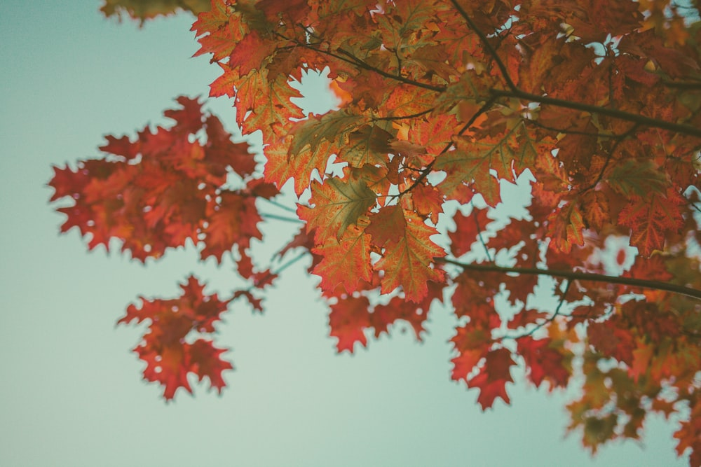 red-leafed tree