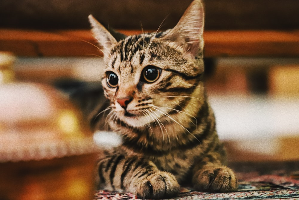 shallow focus photography of brown tabby kitten