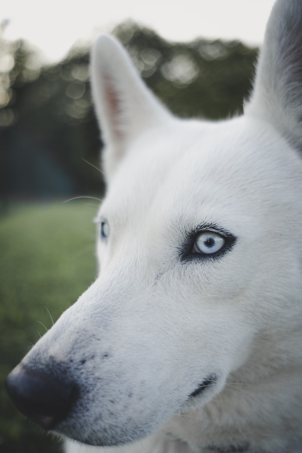 selective focus photography of adult white Siberian Husky