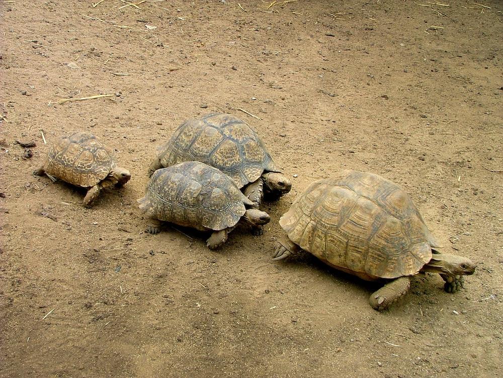four brown turtles on brown soil