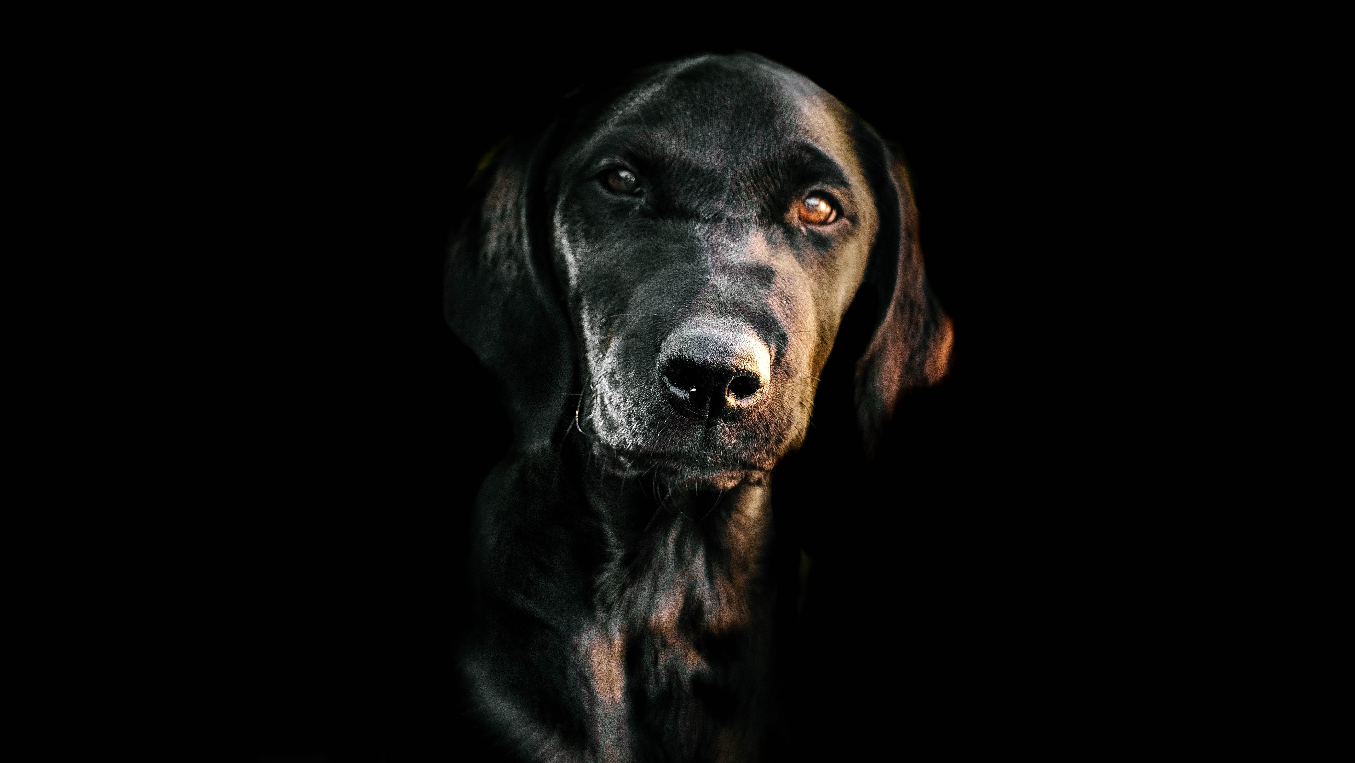 low light photography of short-coated black dog