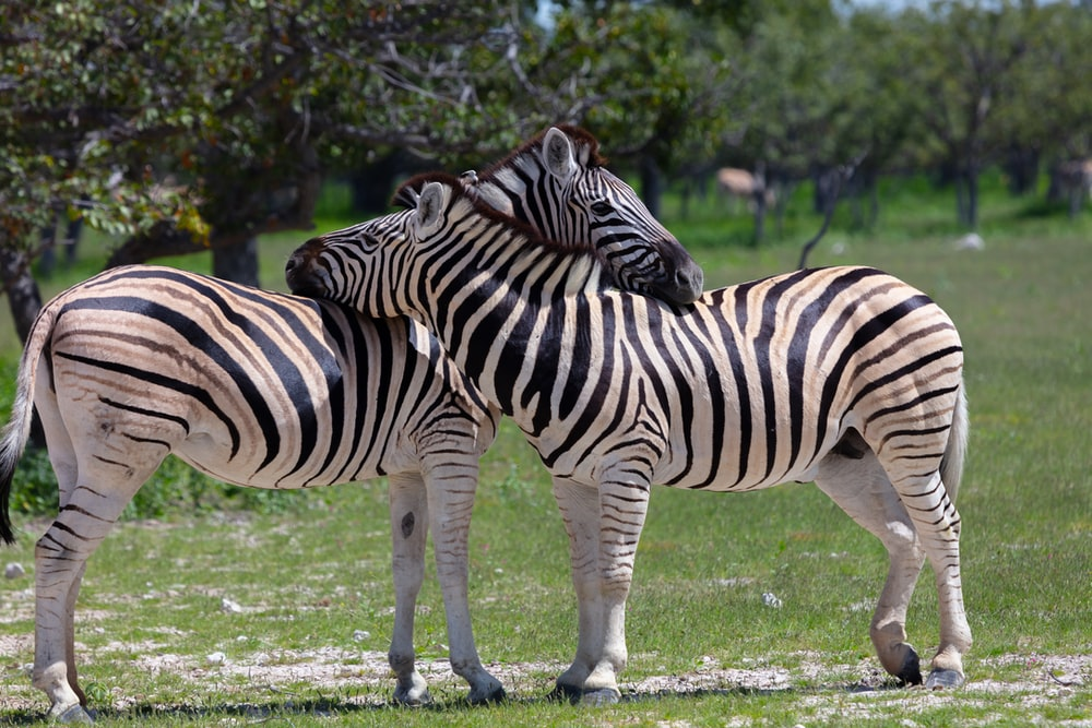 two zebras standing on grass field during daytime