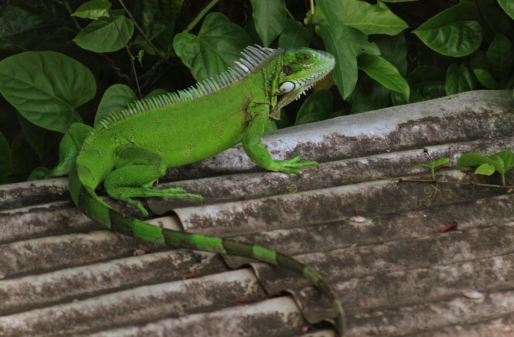 green iguana on top of roof