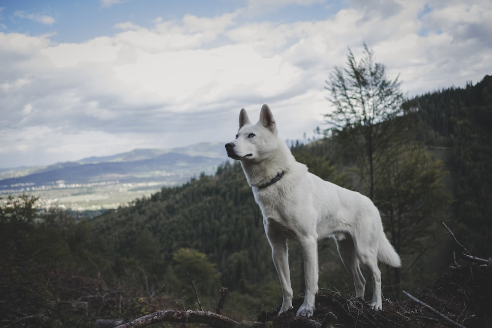 adult white German shepherd standing on wood branch during daytime