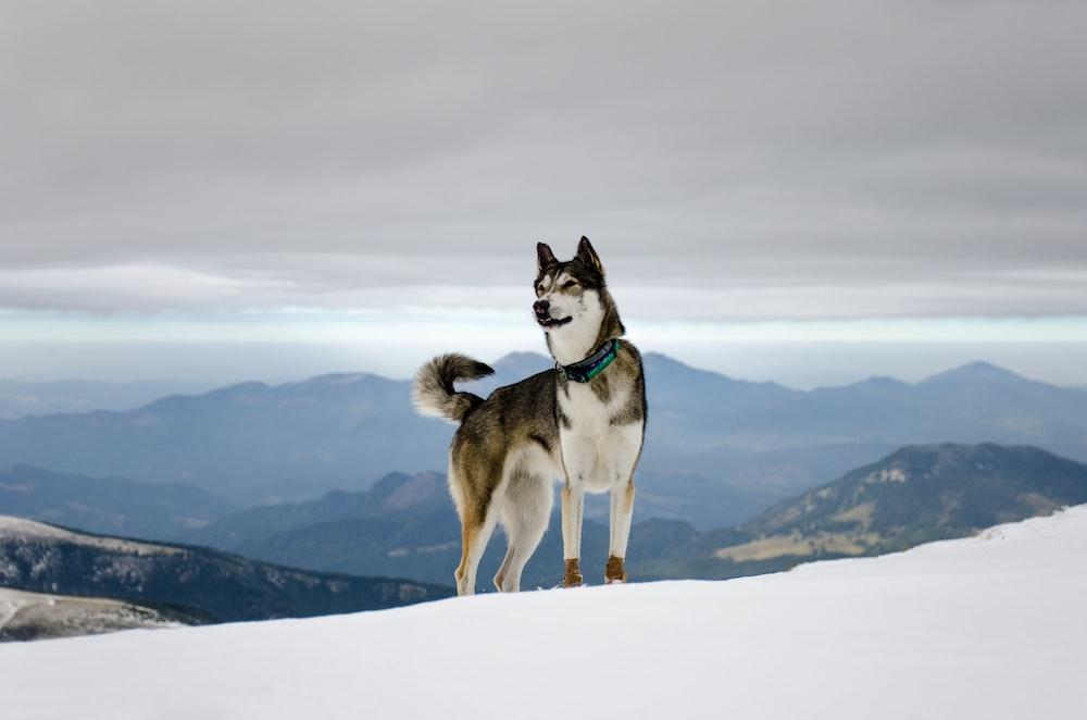 black and white Siberian husky on snow