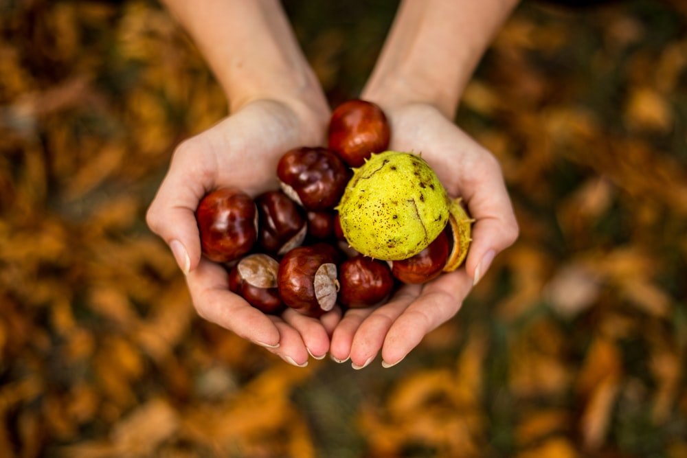 brown hazelnuts on human hands