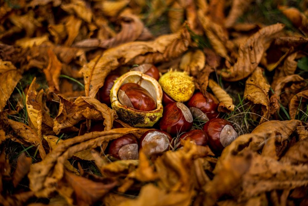 hazelnut on ground
