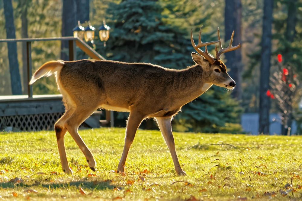 photography of buck on green grass during daytime