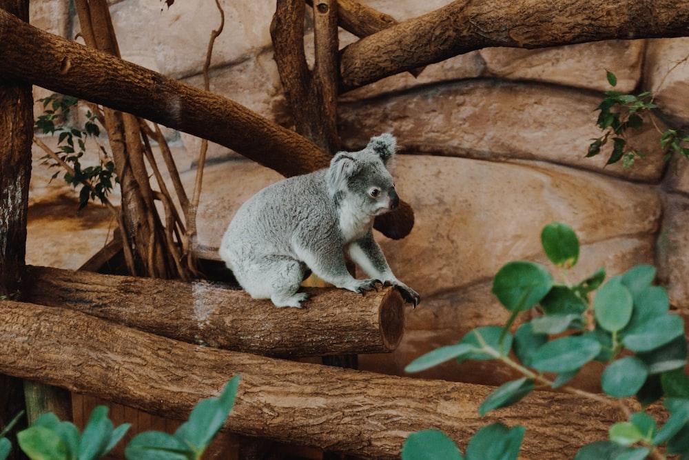 koala on log