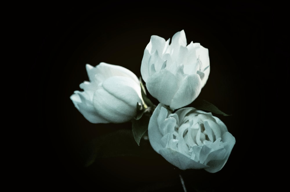 three white petaled flowers