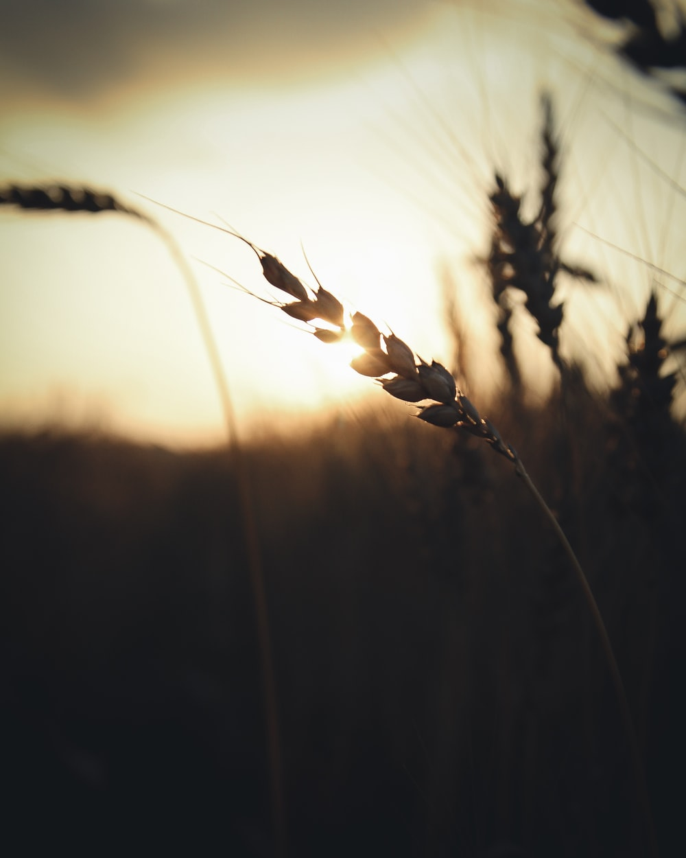 brown wheats on field during sunset