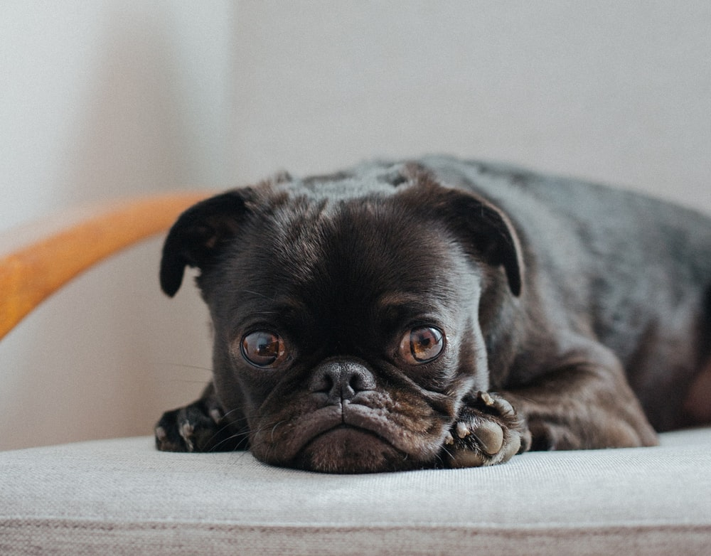 black pug lying on grey cushion