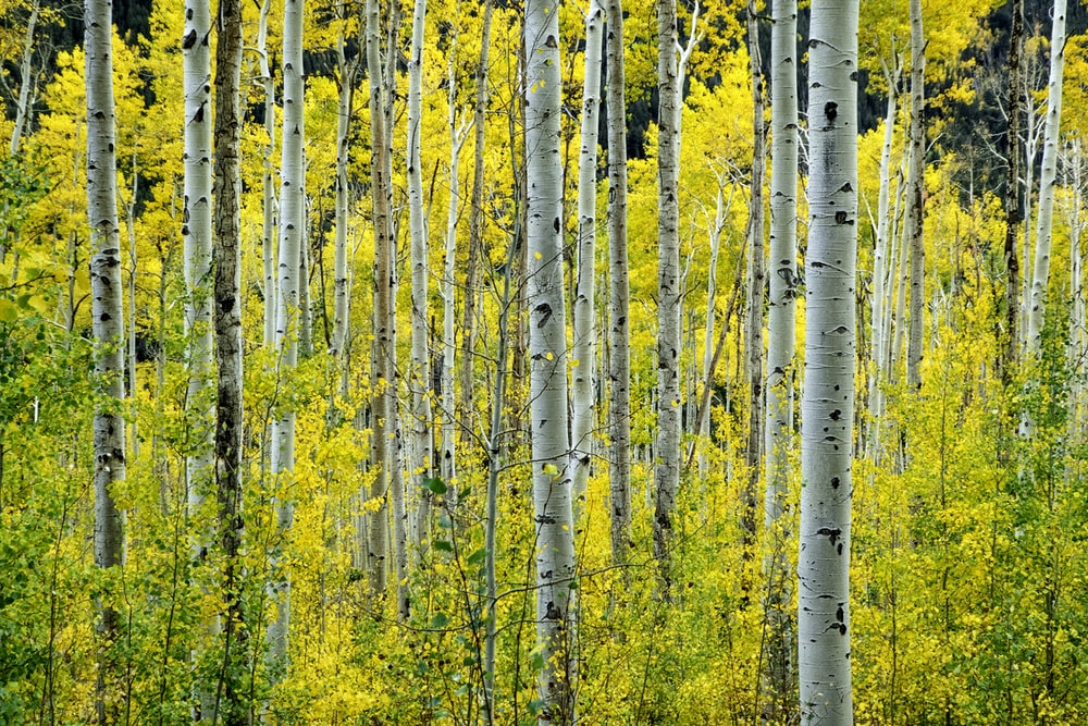 yellow-leafed forest