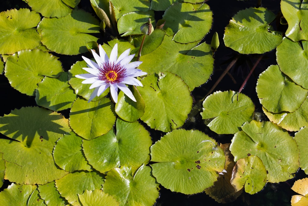 white flower on water lilies