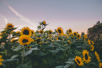 sunflowers under gray sky sunflower teams background