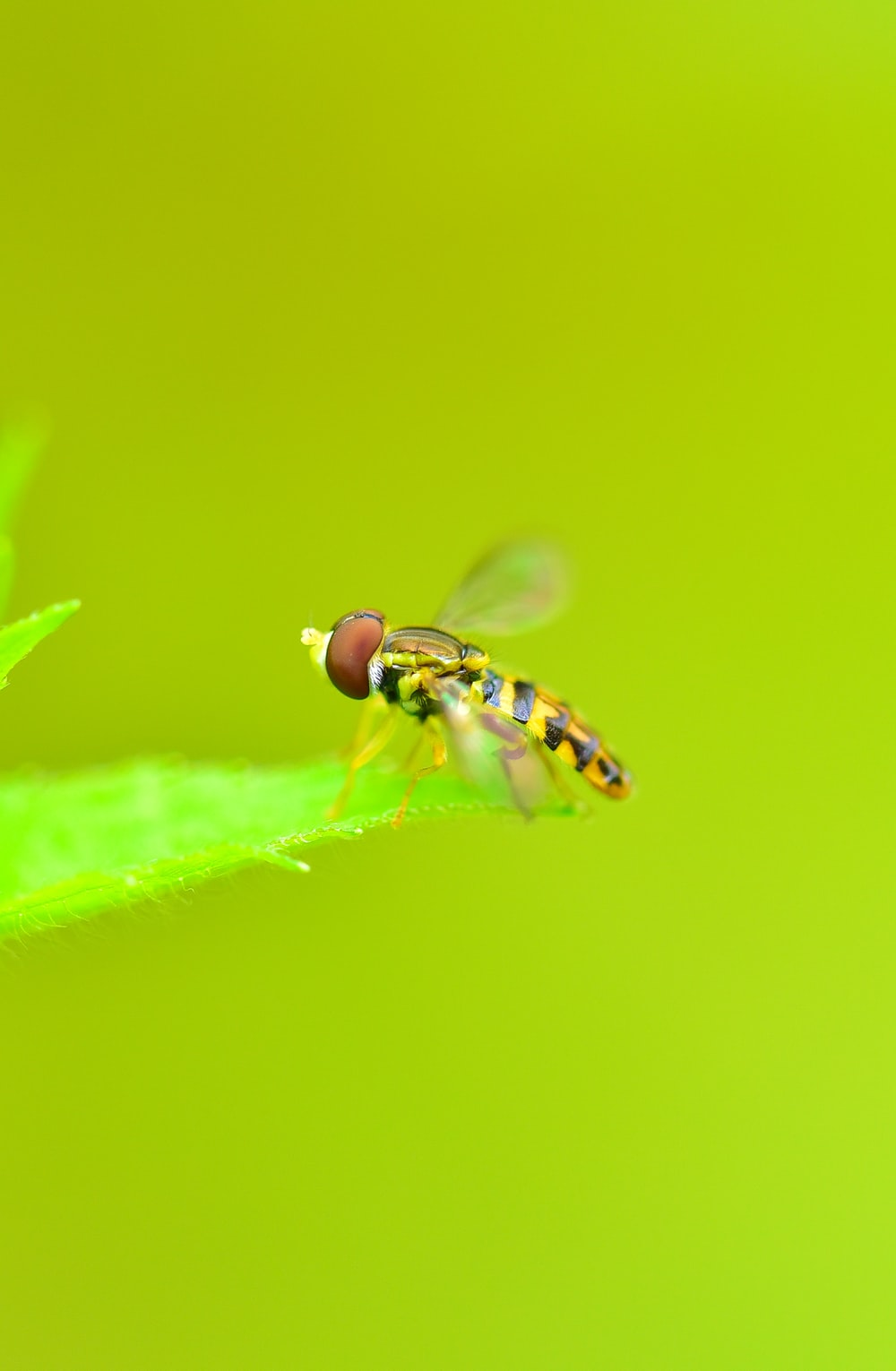 macro photography of hoverfly on leaf