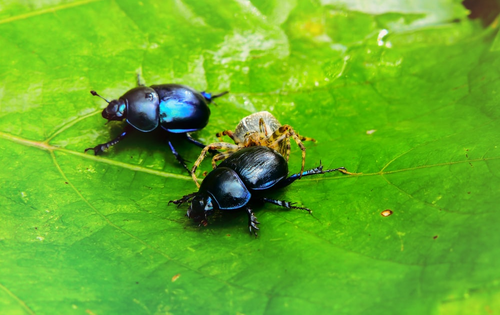 two black dung beetles on leaf