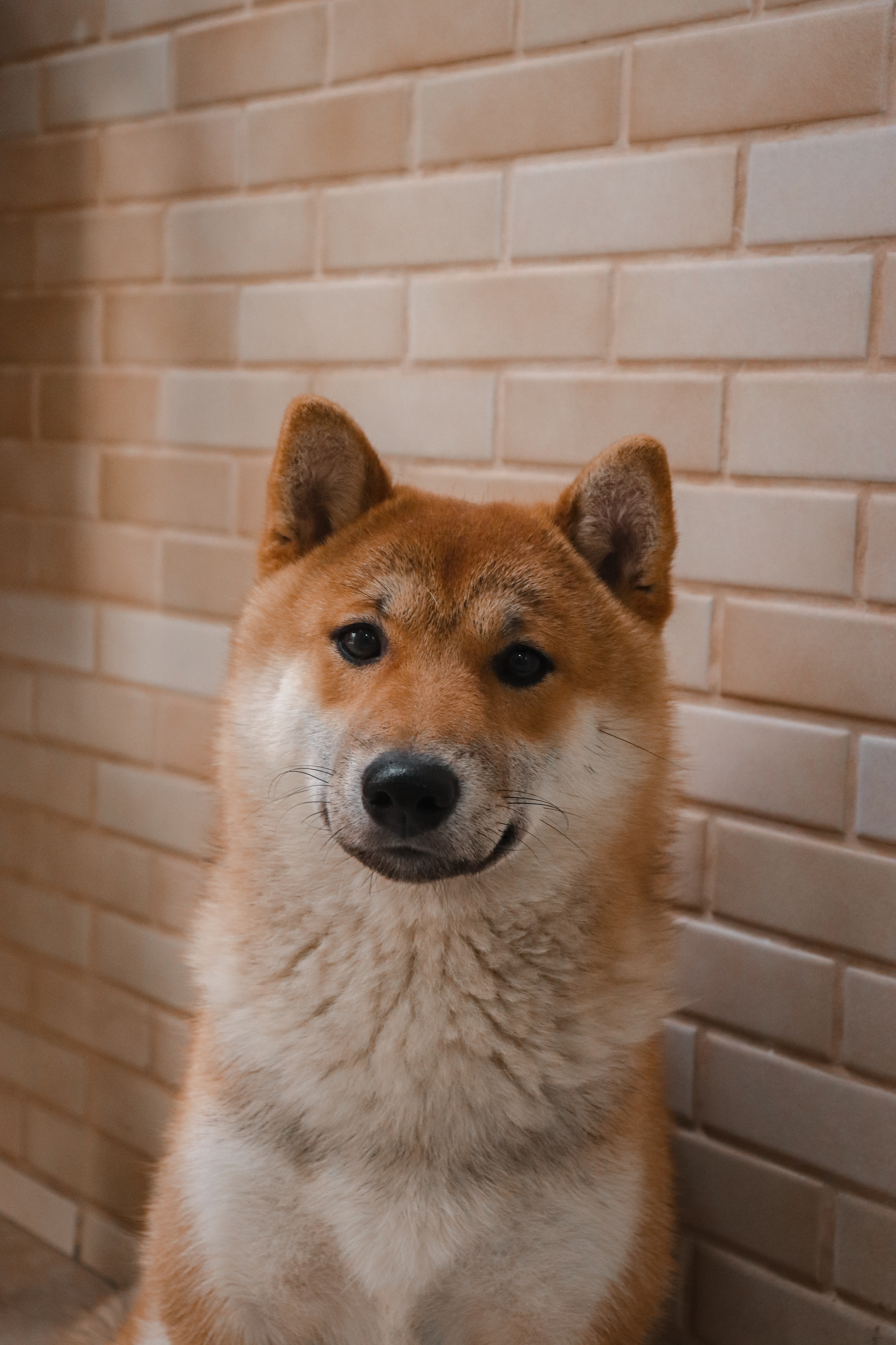 adult white and brown Shiba inu sitting beside wall close-up photo
