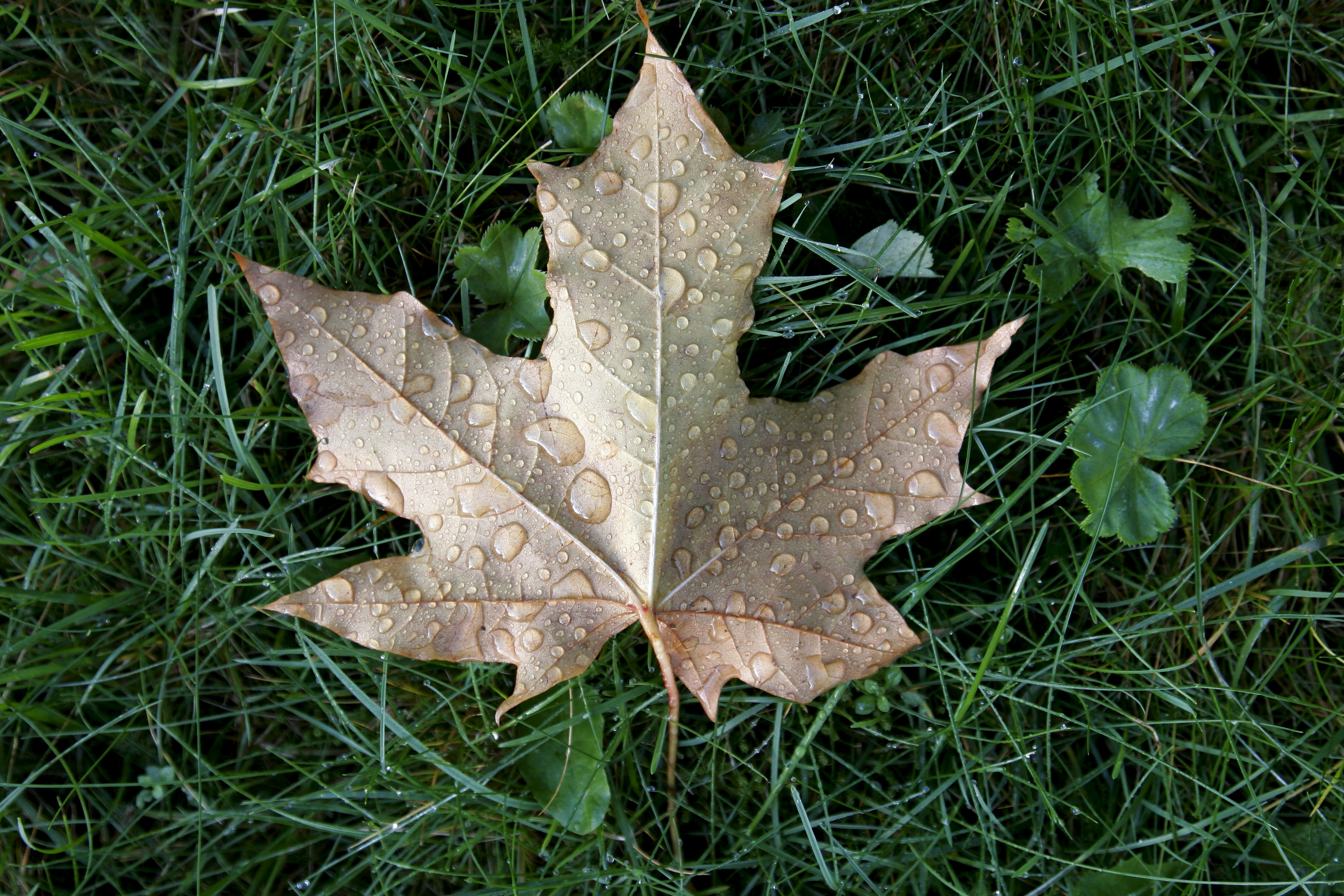brown maple leaf on green grass during day time '