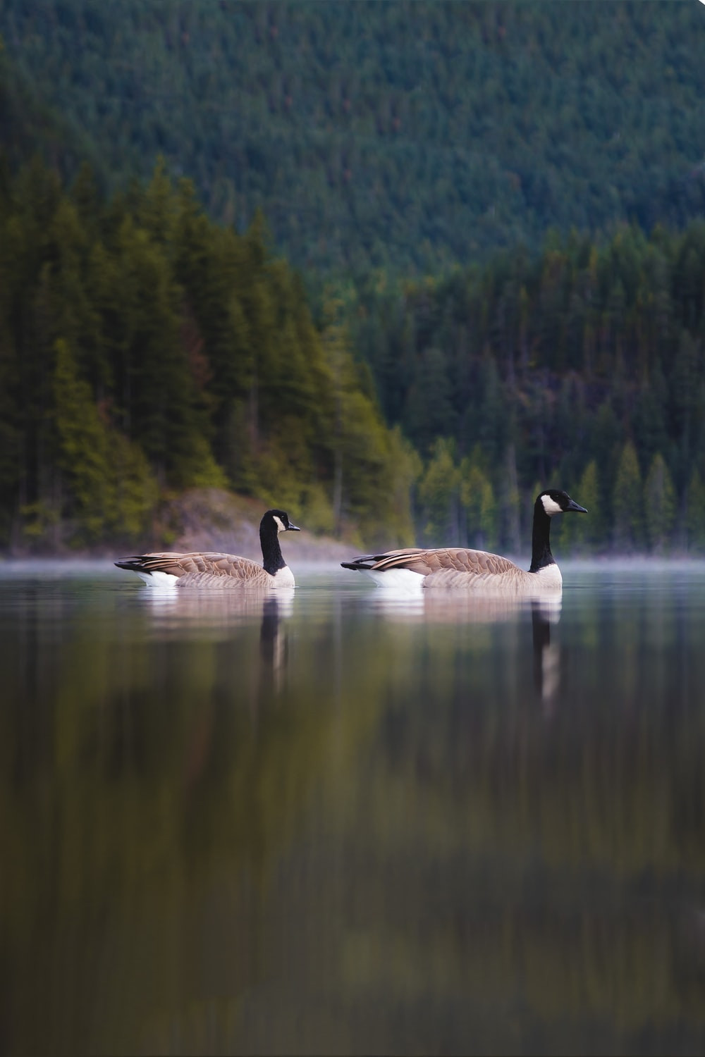 two Canada geese on body of water during daytime