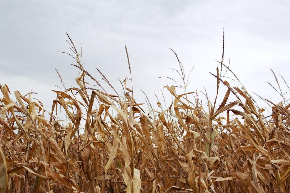 corn field under gray sky