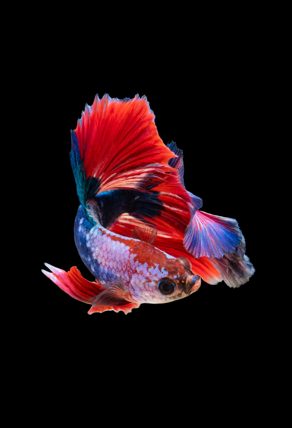 red and silver guppy fish