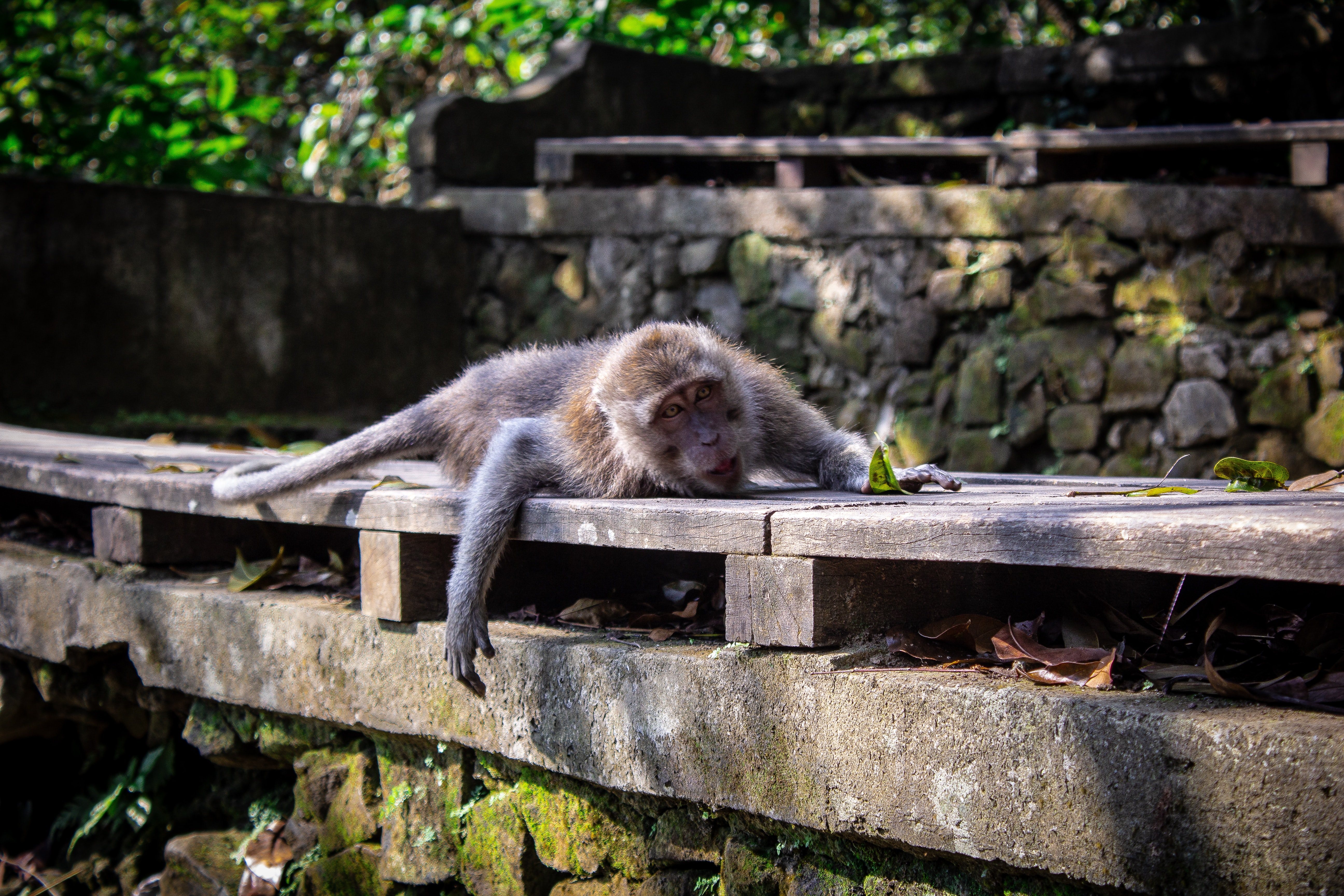 brown monkey lying on brown wooden surface