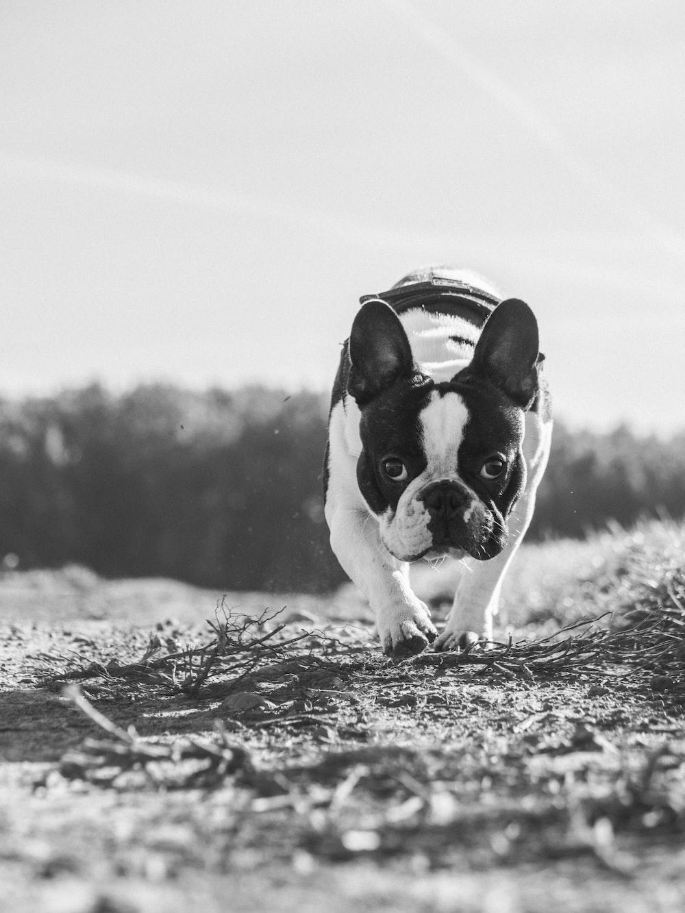 greyscale photography French bulldog