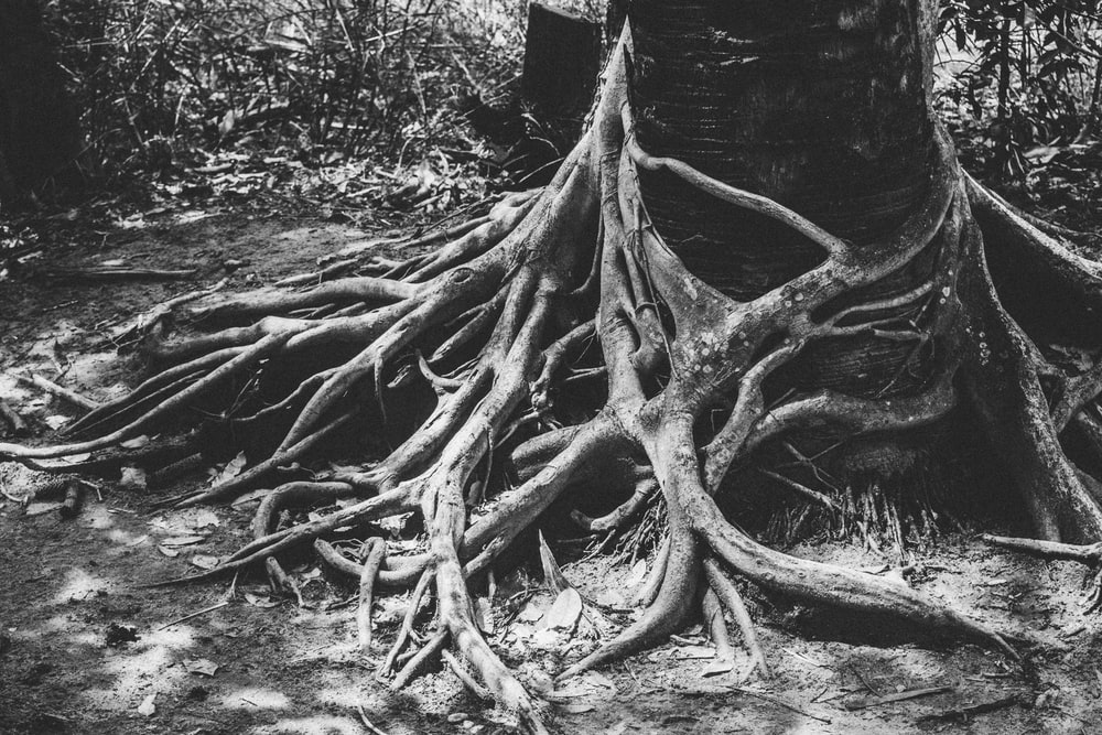grayscale of photo root of tree