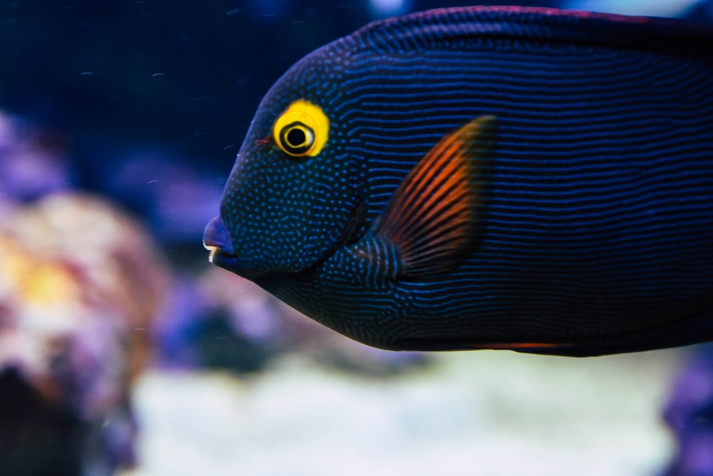 blue and orange fish